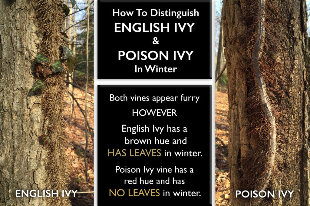 Distinguishing ivy